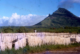 Aloe Fibres Drying in Sun at La Ferme - Mauritius - 1968