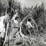 Sugar Cane Harvest Season – Cane Cutters at Work