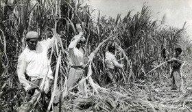 Sugar Cane Harvest Season - Cane Cutters at Work in the fields
