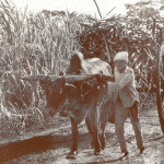 Cane Harvest Season and the Common Transport – Ox Carts
