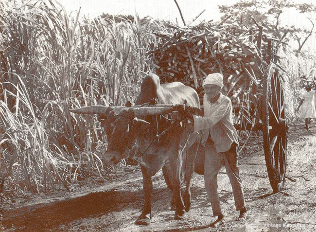 Mauritius Cane Harvest Ox Cart Labourers