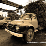 Cane Harvest Season – Bedford Trucks Unloading Sugar Cane at the Factory