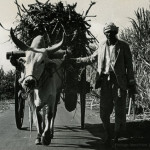 Ox-Cart Carrying Sugar Cane – Traditional Transport in Mauritius