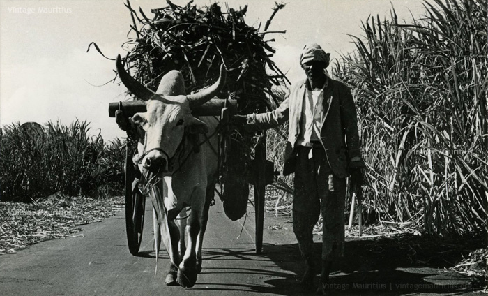 Ox Cart Carrying Sugar Cane - Mauritius - Saref Bef - Charette Boeuf