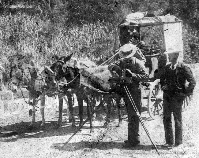 Photographer Mauritius - Donkey/Mule Carriage - 1896