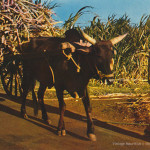 Cane Harvest Season – Ox Cart Carrying Sugar Cane – 1970s