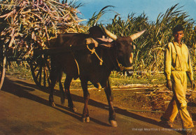 Saret Bef - Ox Cart Carrying Sugar Cane - 1970s