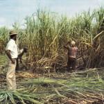 Sugar Cane Harvest Season in Mauritius – 1970s