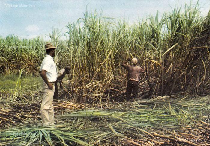 Sugar Cane Cutters - Cane Harvest Season - 1970s - Mauritius