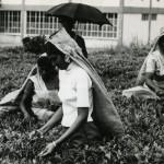 Nouvelle France – Tea Plucking at La Chartreuse – 1960s